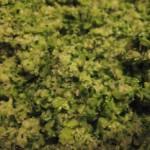 Broccoli Hemp Seed Pesto