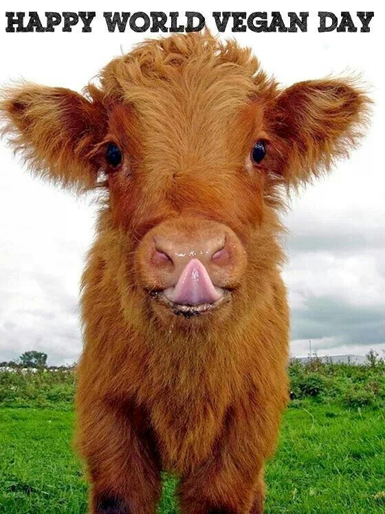 happy-world-vegan-day-cute-calf-looking-at-you